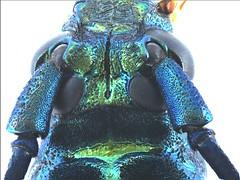 Podanychroma moratiae Vives et al., 2006 Caput