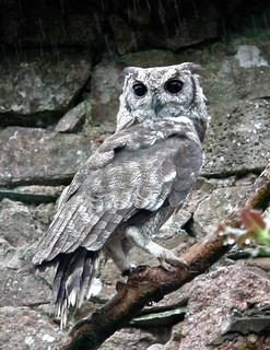 "Greyish Eagle Owl ""Bubo cinerascens"""