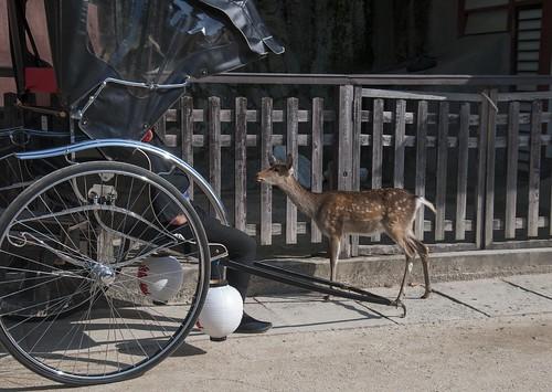 人力車のちょんまげおっちゃんと鹿