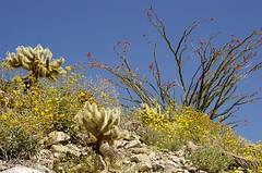 Cylindropuntia bigelovii (Teddybear Cholla), Fouquieria splendens (Ocotillo), and Encelia farinosa (Brittle Bush)