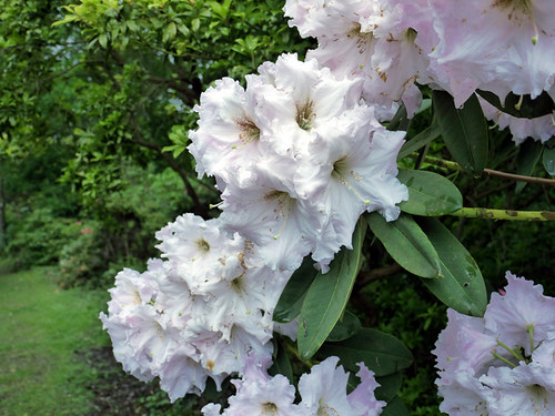 Rhododendrons (15) © Dave Marsh