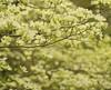 Pale Yellow Dogwood