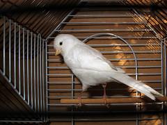 Canario hembra *  blanco