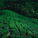 Tea fields by Dunez Photography & Design