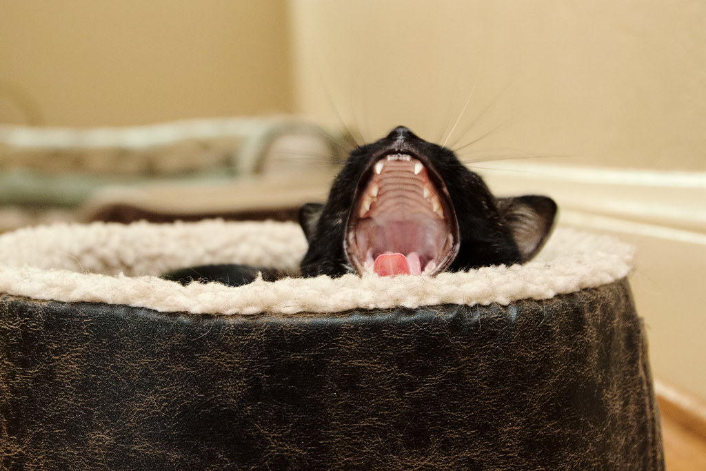 Our tortoiseshell cat Trixie yawns while resting in the cat bed