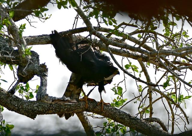Header of Accipiter melanoleucus