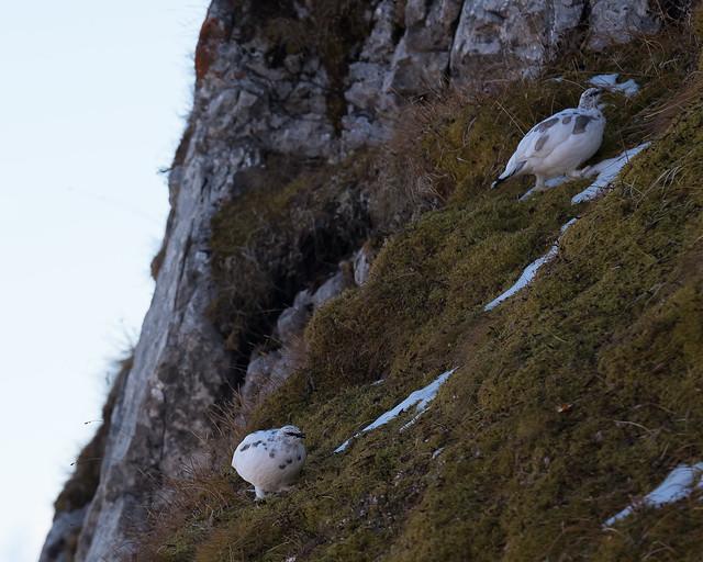 Alpenschneehuhn 008, Nikon D750, AF-S DX VR Zoom-Nikkor 18-55mm f/3.5-5.6G