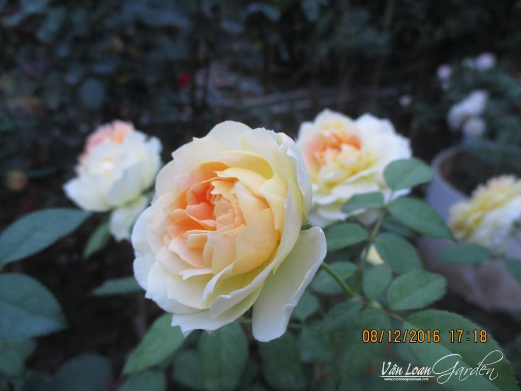 hong molieux hoa hong ngoai (6)-vuonhongvanloan.com