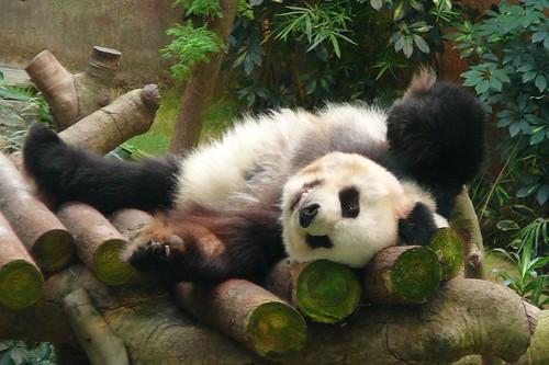 An-An the Giant Panda