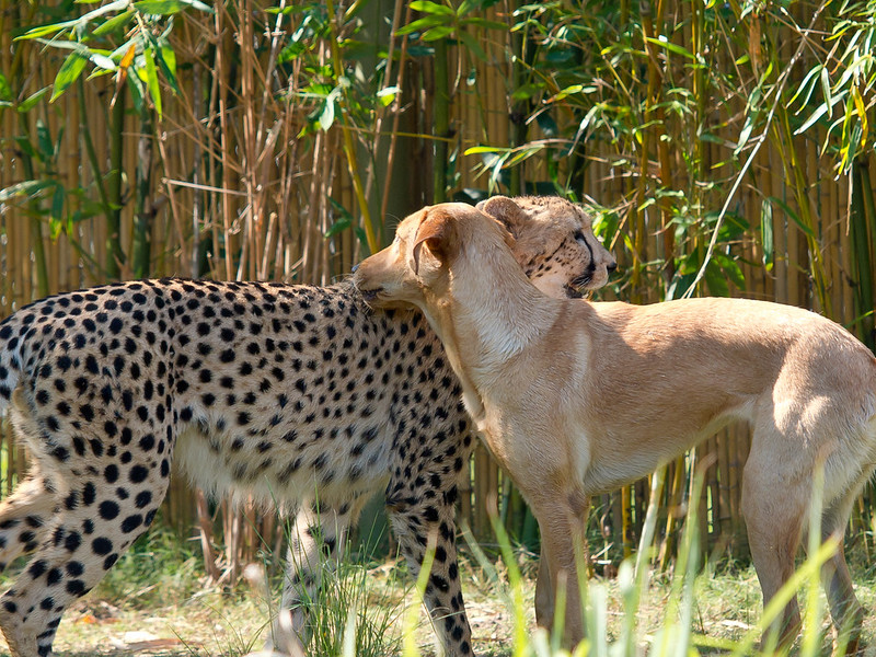 Cheetah Kasi and Labrador Mtani