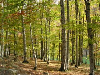 Luminoso bosque de hayas.