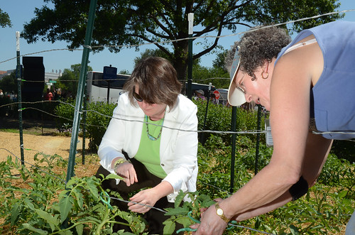 Deputy Secretary Merrigan stakes heirloom tomato plants with USDA Executive Master Gardener Lee Cliburn at the headquarters People's Garden.  Donations of fresh produce are an important part of USDA's Feds Feed Families efforts.
