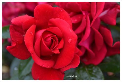 Feliz Quinta Flower by Miguel Allué Aguilar