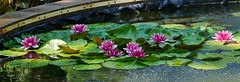 61112-263, Water Lilies