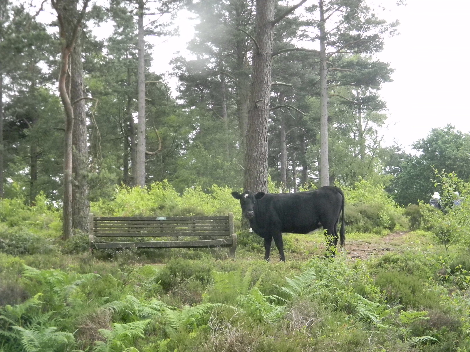 Cow near a seat Haslemere to Midhurst