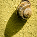 Small photo of Otala lactea (milk snail)
