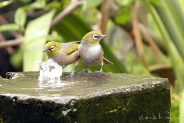 Silvereye birds taking a bath