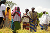 Cowpea farmers' Participatory Varietal Selection (FPVS) activities