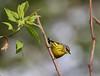 Magnolia Warbler - Setophaga magnolia