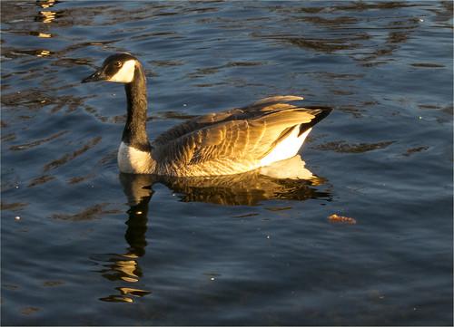 20130522 - Goose