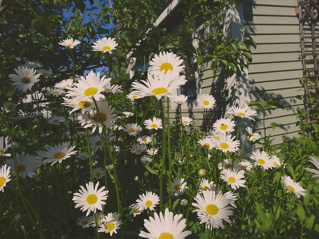 daisies under the apple tree