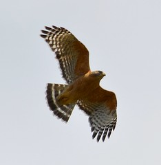 owl(0.0), eagle(0.0), harrier(1.0), animal(1.0), hawk(1.0), bird of prey(1.0), falcon(1.0), wing(1.0), fauna(1.0), close-up(1.0), buzzard(1.0), beak(1.0), bird(1.0), wildlife(1.0),
