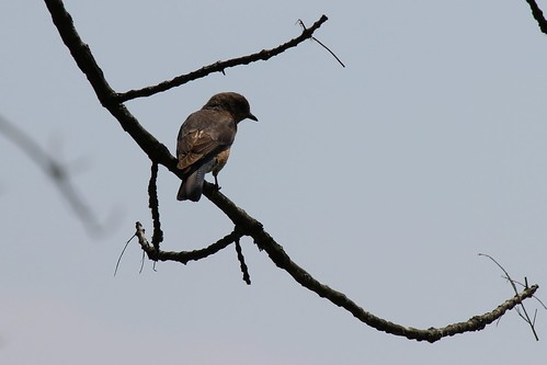 IMG_0122_Unknown_Bird_at_Ouabache