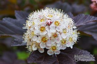 Liebliche Blüte