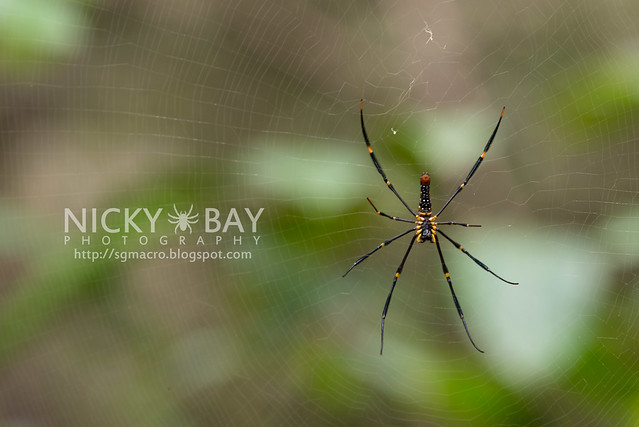 Golden Orb Weaver (Nephila sp.) - DSC_7139
