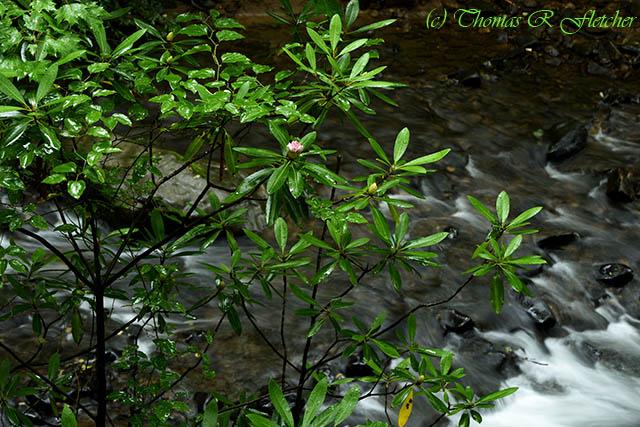 West Virginia State Flower