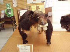 知床自然中心內的活動布置-以熊的標本介紹棕熊習性