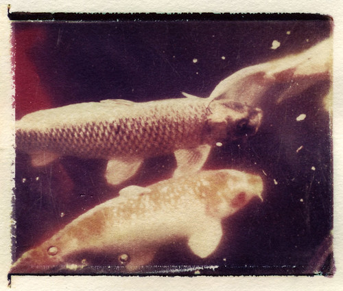 Koi (Polaroid transfer) by Hilary (curioush)