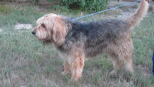 Otterhound Barclay 1