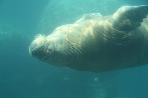 Walross unter Wasser [Tierpark Hagenbeck, Hamburg]
