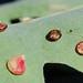Small photo of Galls on a Oak Tree (Andricus parmula)