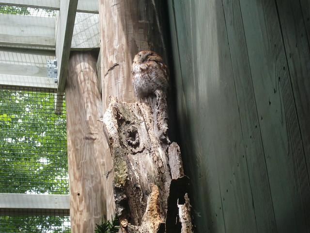 Snowy owl VINS