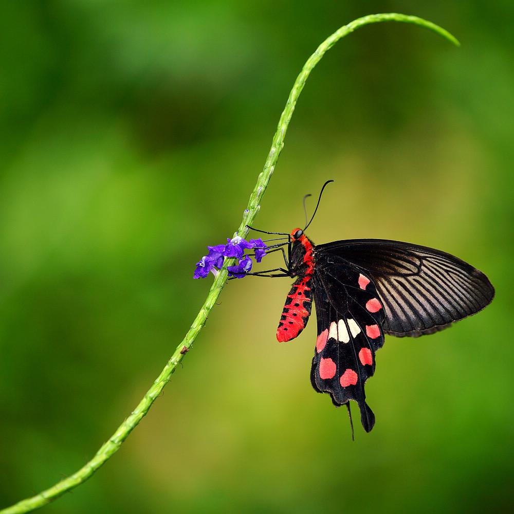 珠鳳蝶屬紅珠鳳蝶-1
