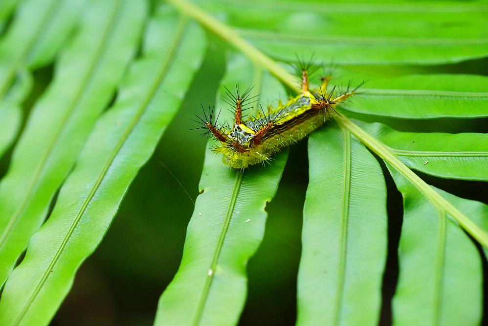 梨刺蛾-3