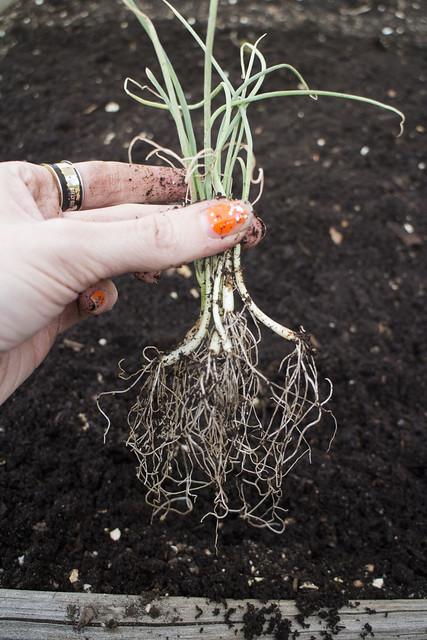 Seedling Planting Spring 2014_18