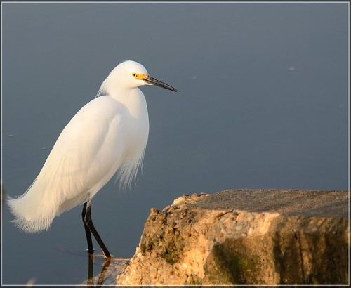 It was a little Snowy early in the morning!  Snowy Egret