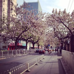 #flower #tree #street #beijing #road