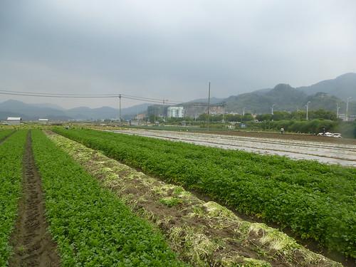 Fujian-Xiapu-Champs (10)