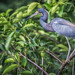 Blue Heron, Wakodahatchee Wetlands, Florida by Ed Llerandi