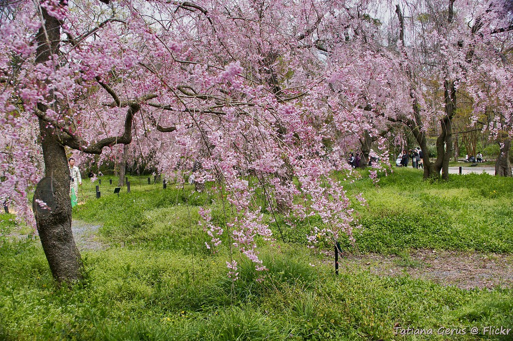Beautiful grove of weeping cherry trees in Kyoto Botanical Gardens