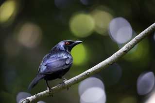 Metallic Starling