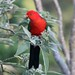 Small photo of Australian King-Parrot (Alisterus scapularis)