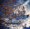 Yellow leaves, puffy clouds, 11/27/16
