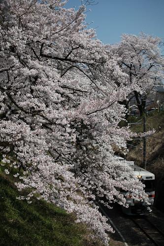 御殿場線 桜のトンネル