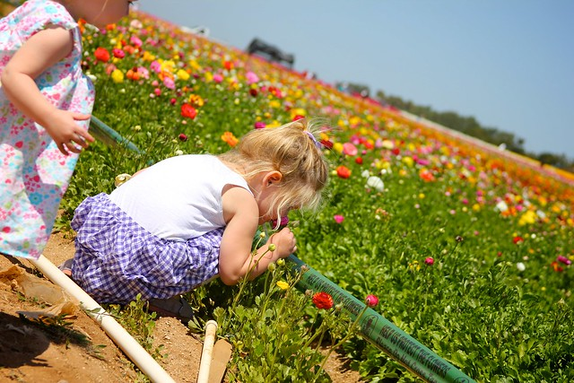 Carlsbad Flower Fields April 2012 29