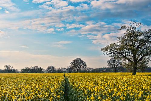[フリー画像素材] 自然風景, 田園・農場, 菜の花・アブラナ, 風景 - イギリス ID:201204262000